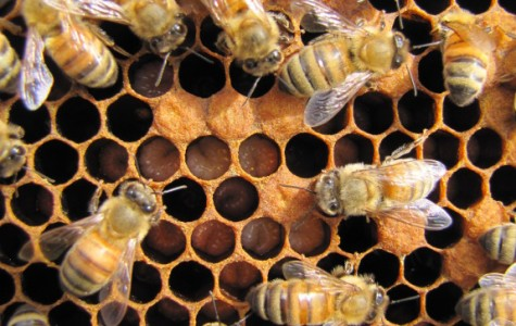 All About HHS's Beekeeping Club