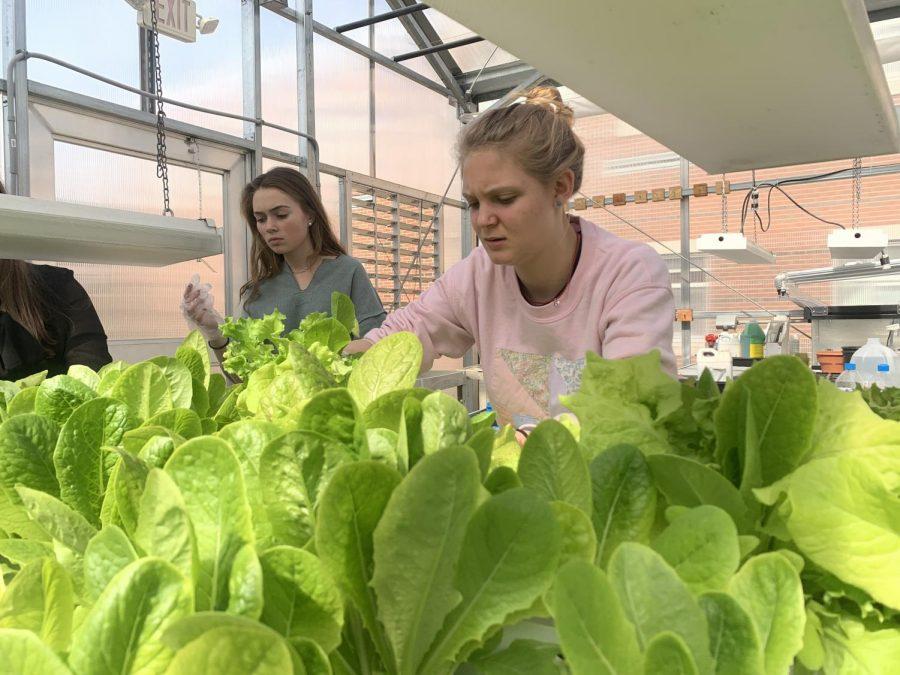 Lettuce+Harvest